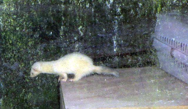 ferret 001 small